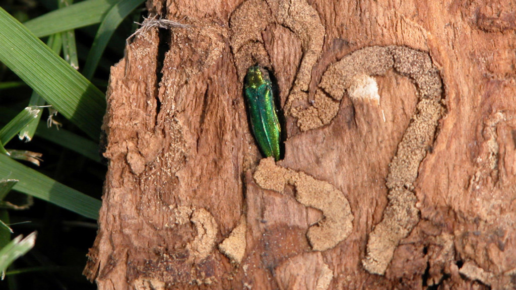 TLC EAB Need Ash to Mature Healthy, Thwart By Blade the Trees The Your -