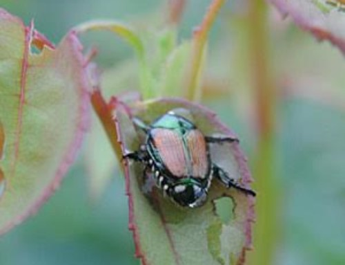 When Japanese Beetles ATTACK!