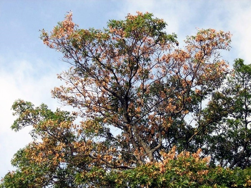 The City - the Kansas Spreading Wilt Oak is Disease Area Blade By in