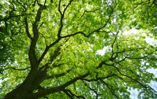 Mighty Oak Tree from below
