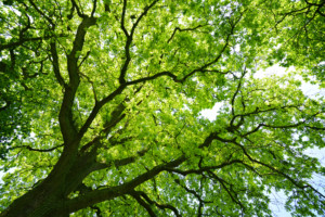 Oak Blade Tree from below Mighty By The -